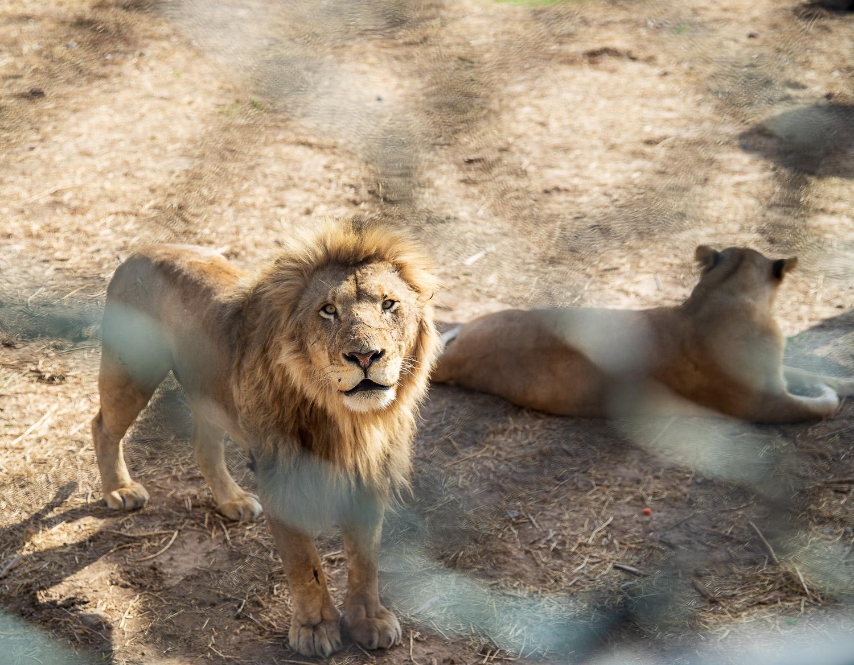 狮子的凝望